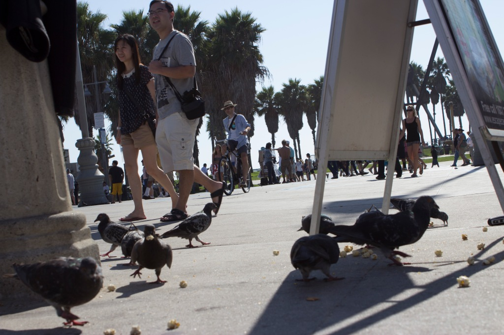 venice beach pigeons
