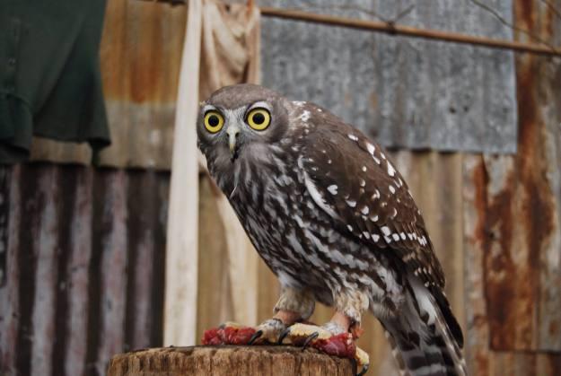 Hypnotizing owl eyes