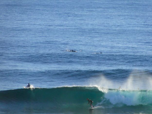 The surfer sets out a sigh of relief when he realizes the fins are not from sharks about to bum rush him.