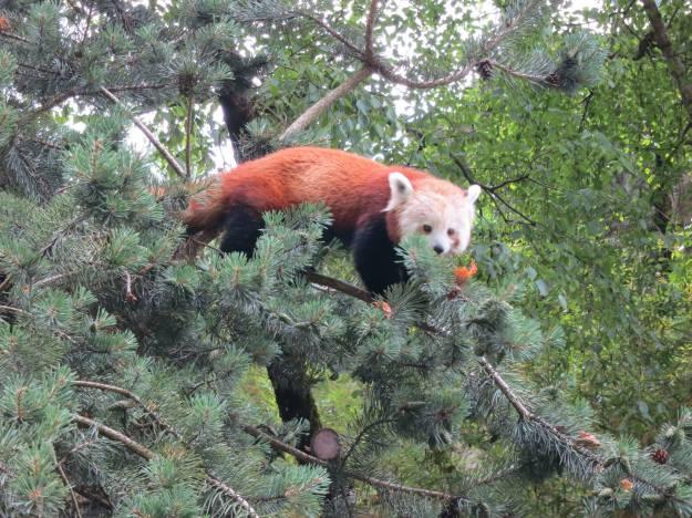 Red panda at the Lyon zoo!