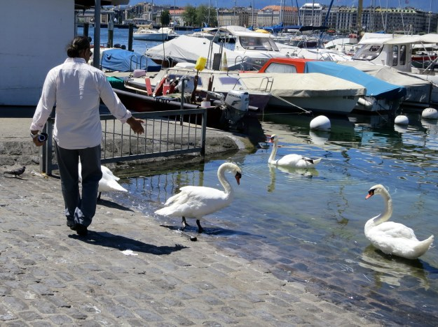 Swan whisperer