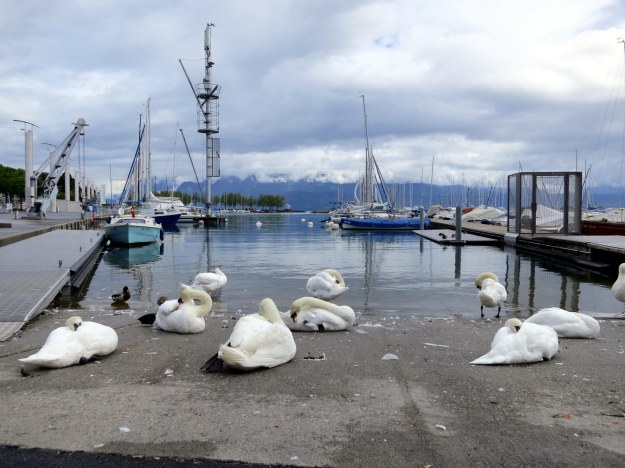 Swans run Switzerland - it's a fact.